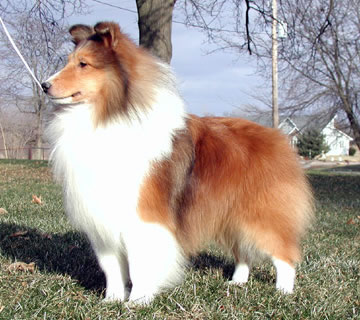 superior quality df478 b8614 ... and can range from a honey golden color to a very dark brown color.  Black shelties are called  Tricolors  or, if lacking tan points,  Biblacks .